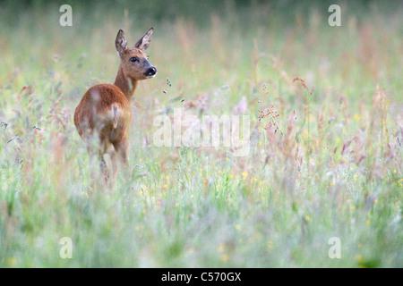The Netherlands, 's-Graveland, Deer or roe. - Stock Photo
