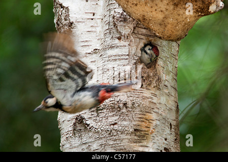 The Netherlands, s-Graveland, Middle spotted woodpecker(Dendrocopos medius). Young looking out of hole. - Stock Photo