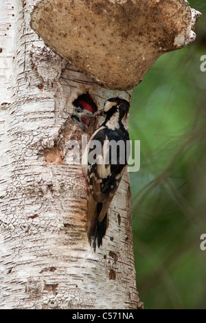 The Netherlands, 's-Graveland, Middle spotted woodpecker  (Dendrocopos medius). Mother feeding young. - Stock Photo