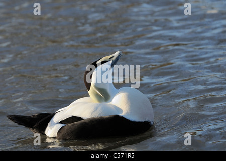 Eider (Somateria mollissima) adult male displaying, puffing his chest up and calling in evening light, WWT Slimbridge, - Stock Photo