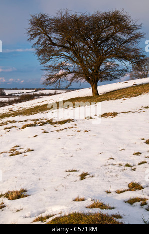 Late afternoon winter sun catches a lone Hawthorn tree on the snow-covered slopes of Honey Hill in Northamptonshire, - Stock Photo