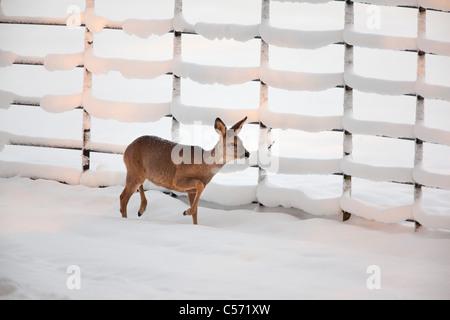 The Netherlands, 's-Graveland, Rural estate called Gooilust. Winter, snow. Roe or deer. - Stock Photo