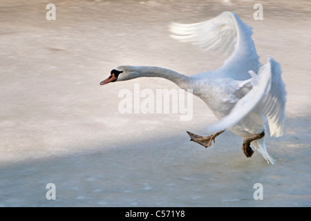 The Netherlands, 's-Graveland, Rural estate called Gooilust. Winter, snow. Mute swan, Cygnus Olor, landing on ice. - Stock Photo