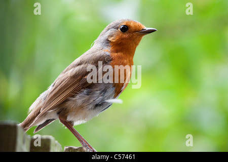 Robin redbreast, Erithacus rubecula, perched on a garden fence, Berkshire, England, UK - Stock Photo