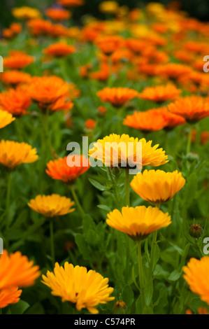 Calendula officinalis, Pot Marigolds, in flower - Stock Photo
