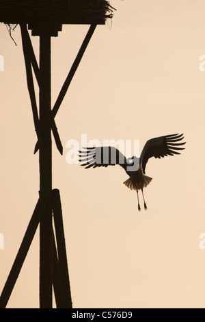 The Netherlands, Jonen, Stork flying back to nest with nest material. - Stock Photo