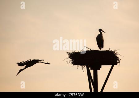 The Netherlands, Jonen, Storks on nest. - Stock Photo