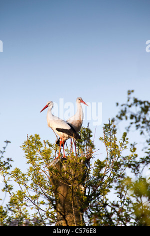 The Netherlands, Jonen, Storks on expected nest. - Stock Photo