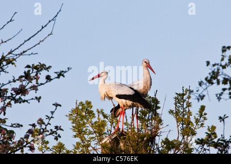 The Netherlands, Jonen, Storks on expected nest. - Stock Photo