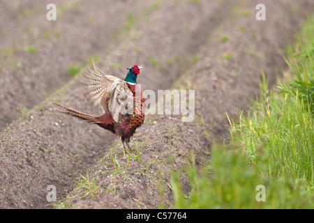 The Netherlands, Blankenham, Male pheasant. Phasianus colchicus. - Stock Photo
