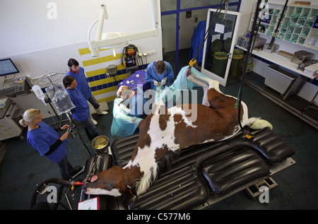 Veterinarians operating on a horse's leg - Stock Photo