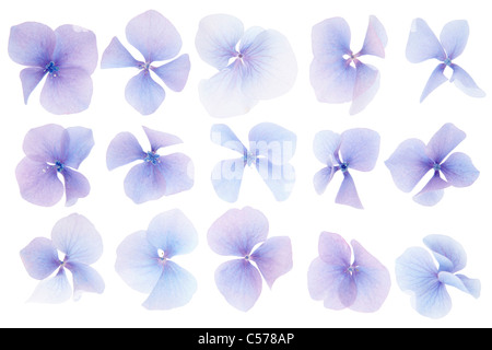 Hydrangea flowers isolated on white - Stock Photo