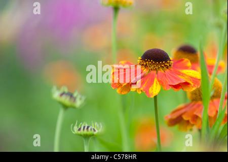 Helenium 'sahin's early flowerer'. Sneezeweed flower - Stock Photo