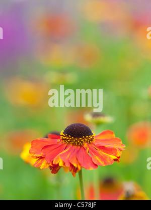 Helenium 'sahin's early flowerer' . Sneezeweed flower - Stock Photo