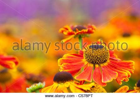 Helenium 'Waltraut' . Sneezeweed flowers - Stock Photo