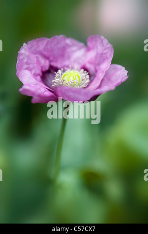 Papaver somniferum - Opium poppy - Stock Photo