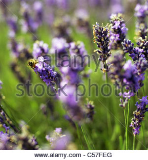 Close up of lavender flowers - Stock Photo