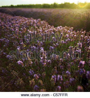 Field of lavender crops - Stock Photo