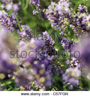 Close up of bee on lavender flowers - Stock Photo