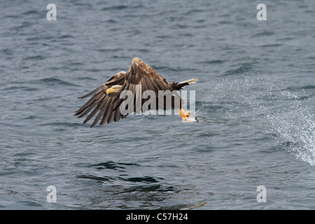 A Sea Eagle attacking in Loch Na Keal, a series of 5 shots throughout the strike (see more by photographer for others) - Stock Photo