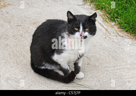 Elderly black and white feral cat after being in a fight. - Stock Photo