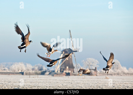 The Netherlands, Nigtevecht, Flying Canada geese and windmill in snow. - Stock Photo
