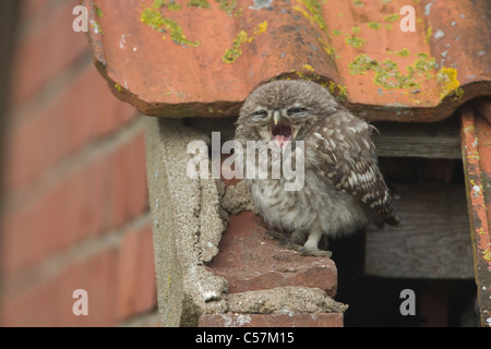 Little Owl on the roof of a derelict building. - Stock Photo