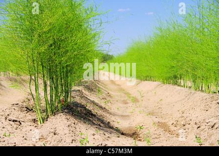 Spargelfeld - asparagus field 22 - Stock Photo