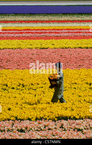 The Netherlands, Lisse, Worker working in the tulip field. - Stock Photo
