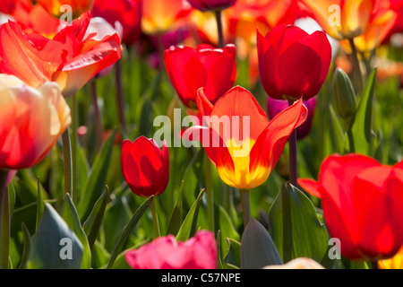 The Netherlands, Lisse, Tulip flowers. - Stock Photo