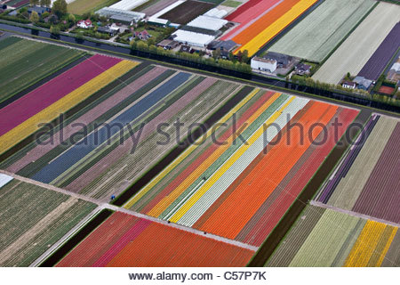 The Netherlands, Lisse, Flowering bulb fields, mainly tulip. Aerial. - Stock Photo
