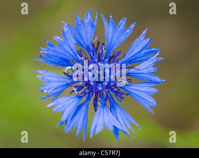 Cornflower, Centaurea cyanus. UK. - Stock Photo