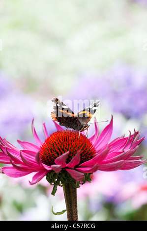 Vanessa Atalanta . Red admiral butterfly feeding on an Echinacea purpurea coneflower - Stock Photo