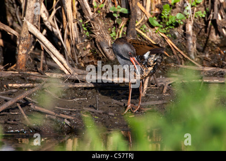 The Netherlands, Sluis, National Park called Zouweboezem. Water Rail, Rallus aquaticus. - Stock Photo