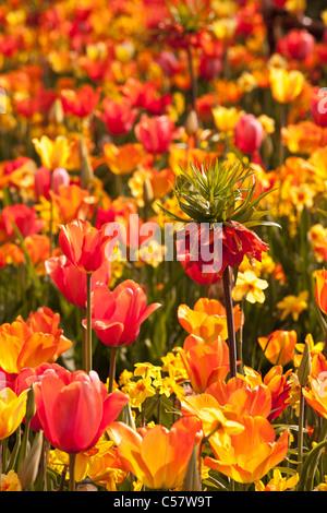 The Netherlands, Lisse, Keukenhof flower garden, mainly Tulip. - Stock Photo