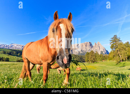 Close up of a horse from Alpe di Siusi, Alto Adige, Italy - Stock Photo