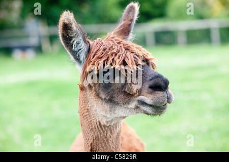 Suri alpaca - Stock Photo