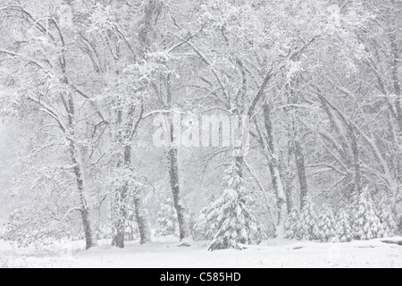 Snow falling in Yosemite valley with California Black Oak trees in the background - Yosemite, California - Stock Photo