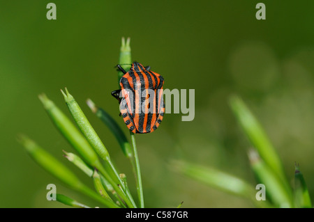 Striped Shield Bug, Graphosoma lineatum, bug, near Andeer, Graubunden, Grisons, Switzerland, Europe, bug, insect - Stock Photo