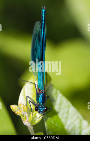 male Banded Demoiselle (Calopteryx splendens) - Stock Photo