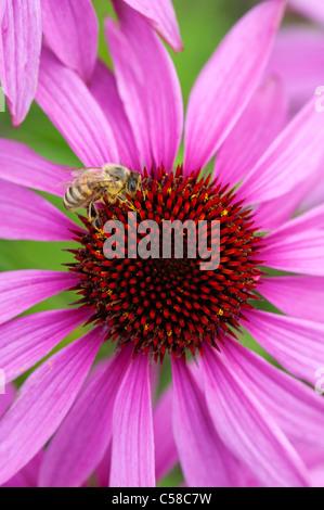 Honeybee feeding on a Echinacea purpurea 'Magnus' coneflower - Stock Photo