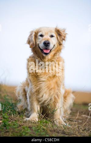 Outdoor portrait of an obedient dog; an elderly female golden retriever. - Stock Photo