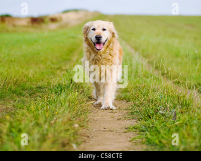 Elegant Old Female Golden Retriever Out for a Walk in the Countryside - Stock Photo