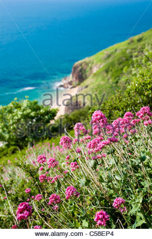 Wildflowers (Valeriana officinalis) on the hillside above Landcombe Cove, South Hams, Devon. - Stock Photo