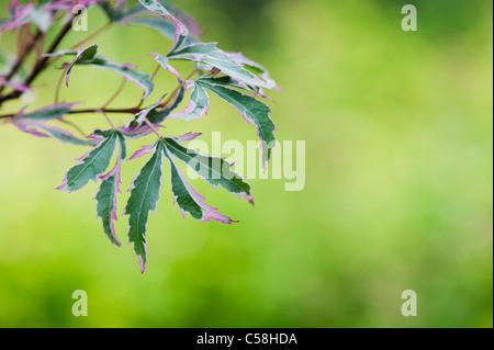 Acer palmatum Marlo . Japanese maple tree leaves - Stock Photo