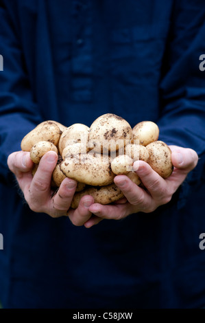 Gardeners Hands holding freshly dug 'Sharpes Express' Potatoes - Stock Photo