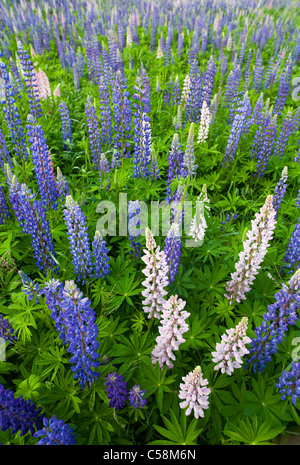 Large-leaved Lupine ( Lupinus polyphyllus ) blooming - Stock Photo