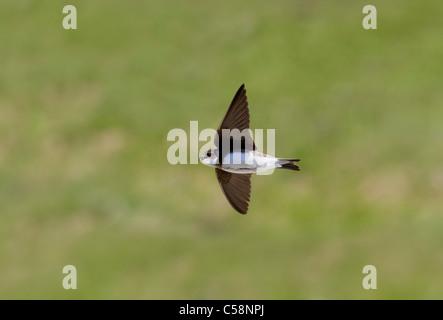 Sand Martin; Riparia Riparia; in flight - Stock Photo