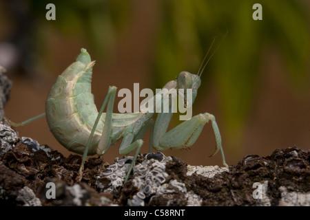 European Dwarf Mantis (Ameles spallanzania) - Stock Photo