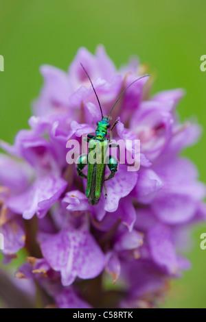 Thick Legged Flower Beetle; Oedemera nobilis; Cornwall